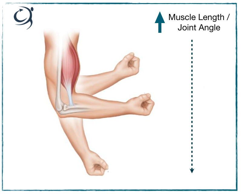 Length tension relationship of muscle