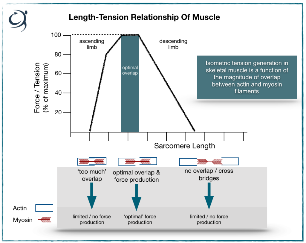 Using the length tension relationship of muscle for rehabilitation